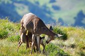 mother deer feeding fawns in the wild national park ** Note: Slight blurriness, best at smaller sizes poster
