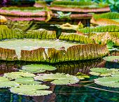 The pictures show Amazonian water lilies called Victoria amazonica poster