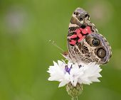 American Painted Lady butterfly feeding on a white Cornflower, showing the intricate coloring and patterns on wings poster