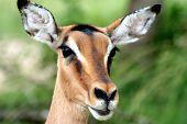 female bush buck close-up poster