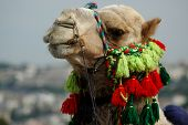 camel smiling in israel poster