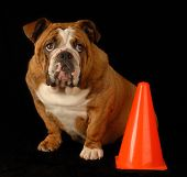 red brindle english bulldog sitting beside orange pylon with guilty expression poster