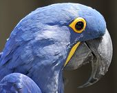 Close up of a blue Parrot sitting on a branch poster