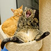 One sleeping and another cat yawning, yelling or laughing poster