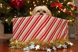 Christmas Dog. A beautiful Morkie half Maltese half Yorkie Puppy dog presented as a Christmas Gift under a Christmas Tree. Dogs are often given as Christmas gifts around the world.
