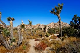 Landscape Of Joshua Trees And Boulders In Joshua Tree National Park