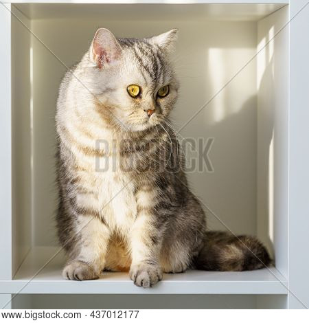 Scottish Straight Tabby Cat With Big Eyes Sitting On Shelf, Cat Is In Closed Confined Space, A Large