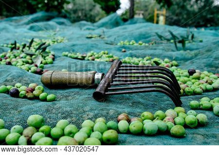 closeup of a comb-like tool used to collect the arbequina olives in Catalonia, Spain, on a net on the ground next to some freshly collected olives