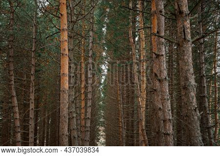 Horizontal Texture Of Sequoia Trees. Huge Tall Trees, A Natural Background For The Design. Majestic