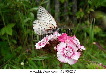 Pieridae