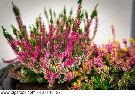 Blooming heathers in a pot in autumn