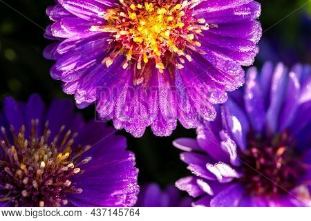 A Macro Portrait Of Wet Aster Novi-belgii Flowers. The Purple Violet Petals Of The Flowers Are Full