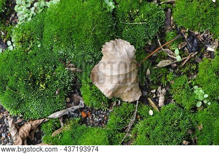 Lush Green Moss With Dry Leaf In The Forest. Autumn Background With Green Textured Moss And Yellow A