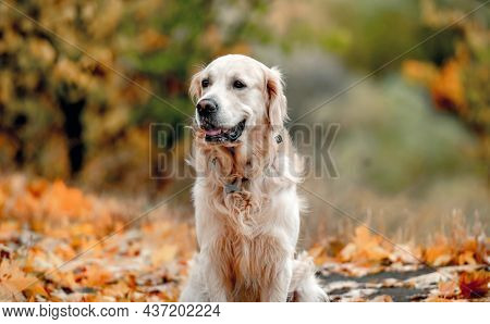 Golden retriever dog sitting on yellow leaves in autumn park. Cute purebred doggy pet outdoors