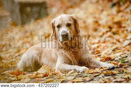 Golden retriever dog lying on yellow leaves in autumn park and looking at camera. Cute purebred doggy pet outdoors