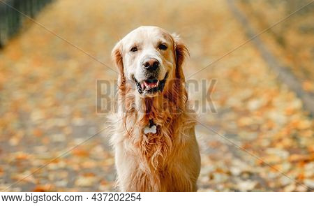 Golden retriever dog walking in autumn park with fallen yellow leaves. Cute purebred doggy pet outdoors looking at camera