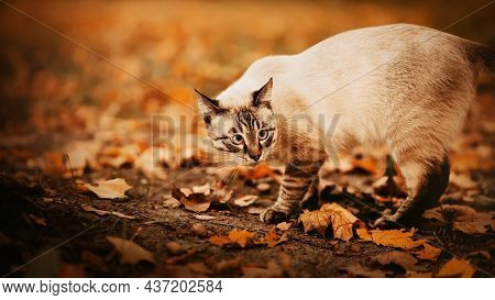 A Cute Tabby Cat Walks Among Yellow Fallen Leaves On An Autumn Day. A Walk With A Pet In The Park In