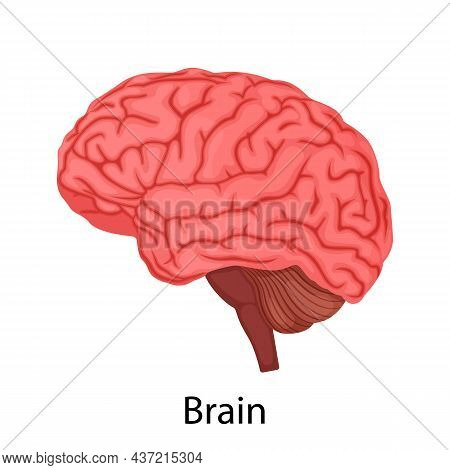 Human Brain Isolated On White Background, Internal Organ. Vector Illustration In Detailed Flat Desig