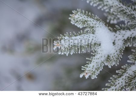 A macro shot of a pine tree covered in frost and snow. Snowshoe WV poster