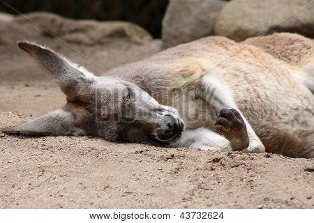 Red Kangaroo Sleeping