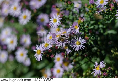 Alpine Asters. Bees Pollinating Beautiful Ornamental Flowers In The Bed. Flowering. Selective Focus.
