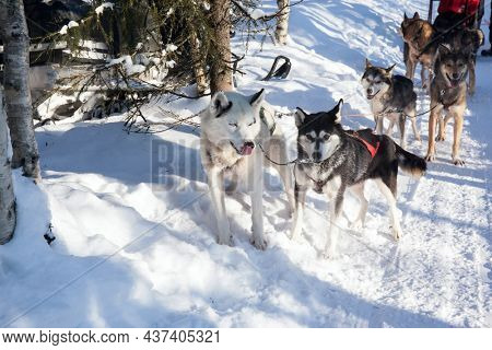 Dog sled carries a sleigh with tourists. The sun is low on the horizon. Travel to Santa Claus. Short winter day in the Lapland. Exotic trip to the Arctic