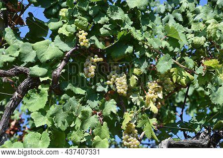 Portion Of Grape Vineyard For The 5 Terre Wine In Volastra.riomaggiore