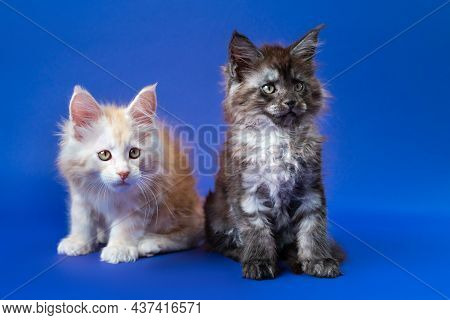 Portrait Of Two Friendly Kittens Of Maine Coon Cat Breed - Black Smoke And Red Silver Classic Tabby.