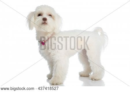 curious little bichon puppy wearing pink collar and looking up while standing in a side view position isolated on white background in studio