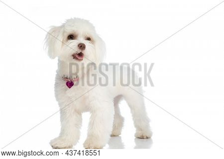 happy little bichon puppy wearing pink collar, sticking out tongue, looking up and standing isolated on white background in studio
