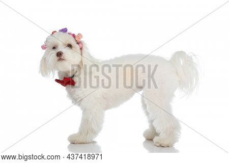 cute bichon puppy wearing flowers headband and red bowtie, looking up and standing isolated on white background in studio