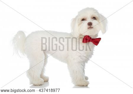 side view of elegant little bichon puppy wearing red bowtie and looking up, standing isolated on white background in studio