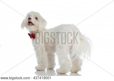 back view of adorable bichon puppy wearing red bowtie, panting and looking up over shoulder on white background in studio