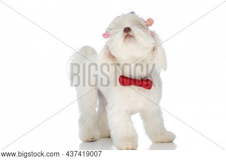 adorable little bichon wearing red bowtie and flowers headband, looking up and standing on white background in studio