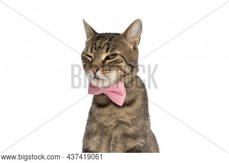 cute metis cat feeling grumpy, wearing a pink bowtie and sitting against white background