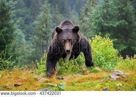 Wild Brown Bear (ursus Arctos) In The Autumn Forest. Animal In Natural Habitat