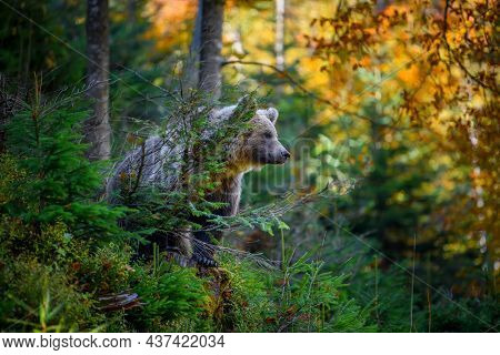 Wild Brown Bear In The Autumn Forest. Animal In Natural Habitat. Wildlife Scene