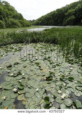 Lilly Pond Landscape