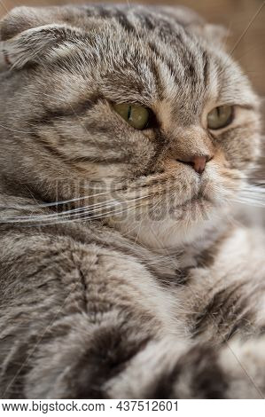 Portrait Of A Serious Scottish Fold Cat, Resting Calmly. Close-up.