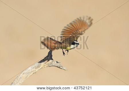 Great Kiskadee (Pitangus sulphuratus) in flight - Texas poster