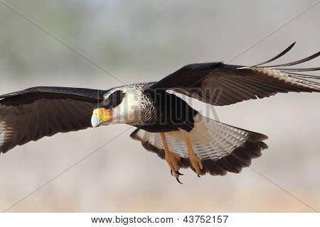 Adult Crested Caracara In Flight - Texas