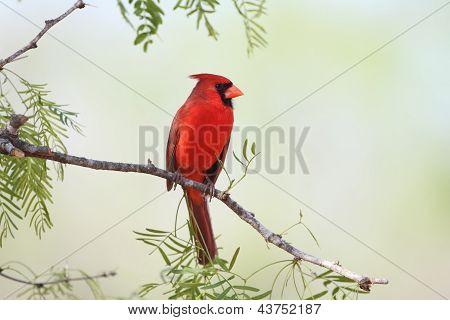 Male Northern Cardinal (Cardinalis cardinalis) - Texas poster
