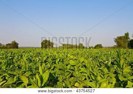 Tobacco Plants farm