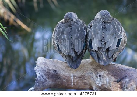 Two Ducks On A Log