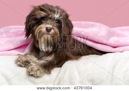 Cute Lying Chocolate Havanese Dog In A Bed