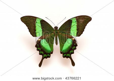 Green color butterfly Isolated on White