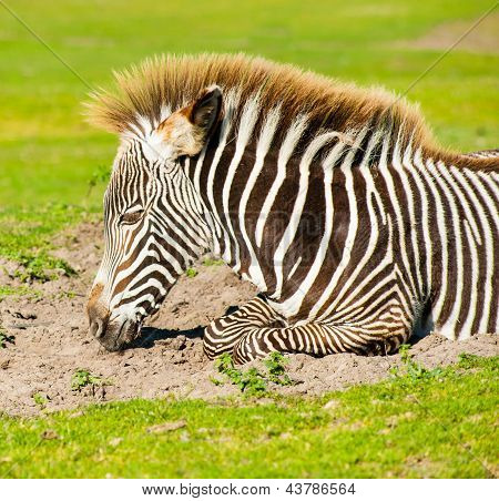 Young Zebra Portrait