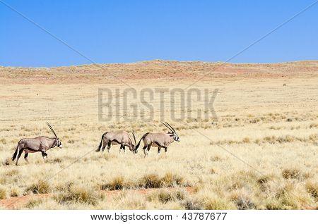 Oryx in a desert landscape