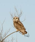 Short-eared owl perched on a branch during a heavy winter snowstorm poster