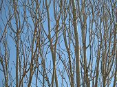 the patterns created by leaf-less branches and trunks against a blue sky poster